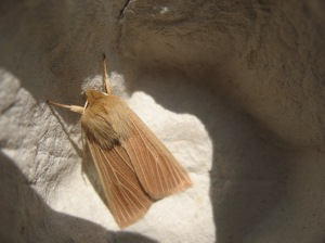 A moth caught under an egg box, waiting for identification