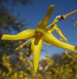 a winter jasmine blossom