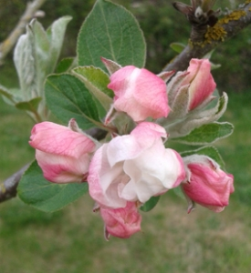 apple blossom2